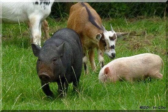 Hängebauchschwein und Zwergziege