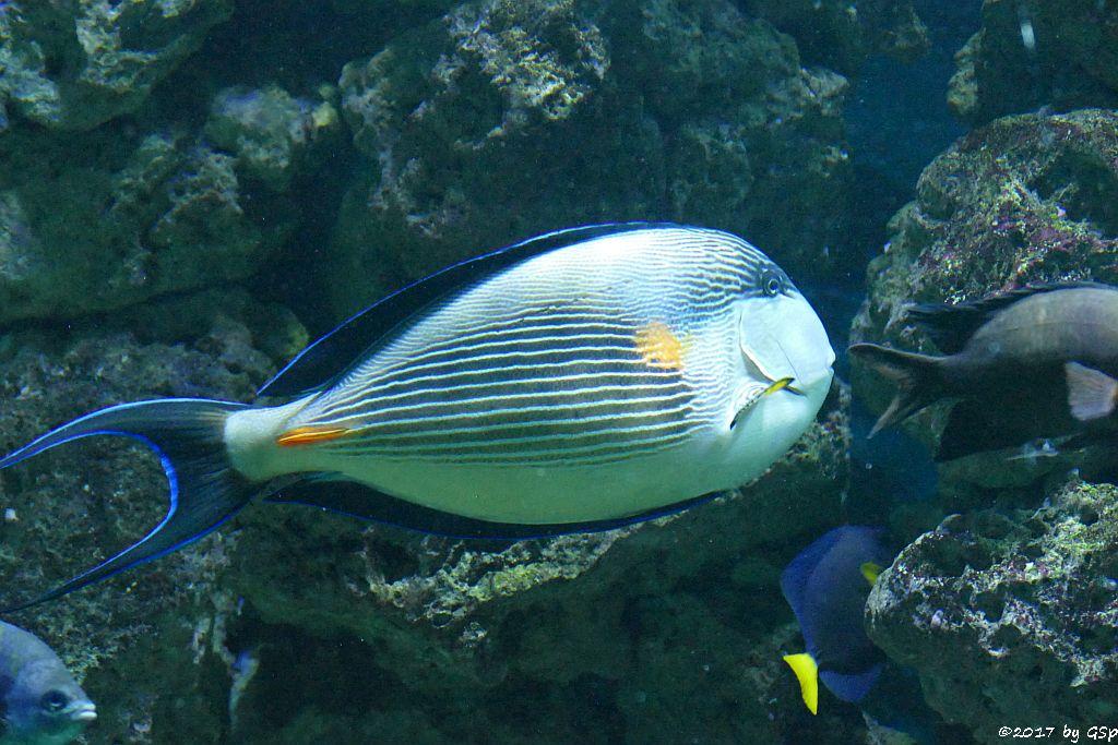 Rotmeer-Doktorfisch (Arabischer Blaustreifen-Doktorfisch)
