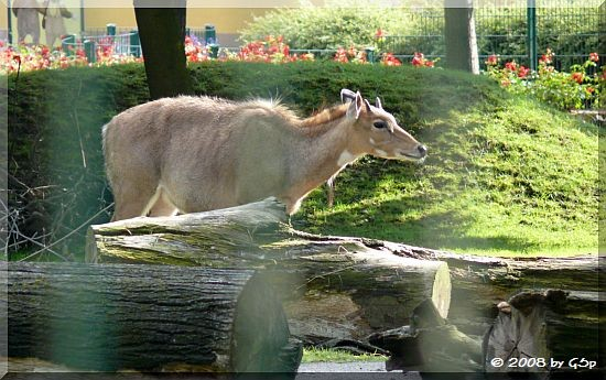 Nilgauantilope