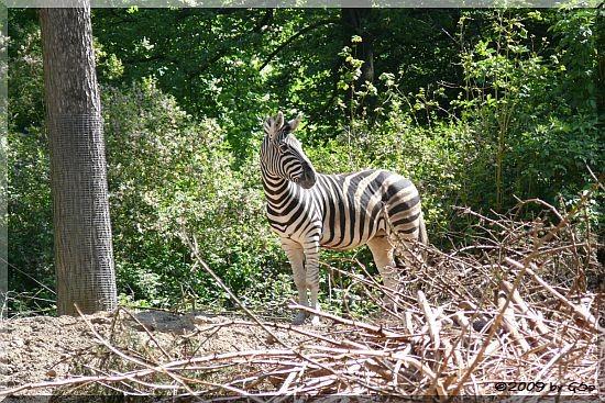 Damara-Zebra