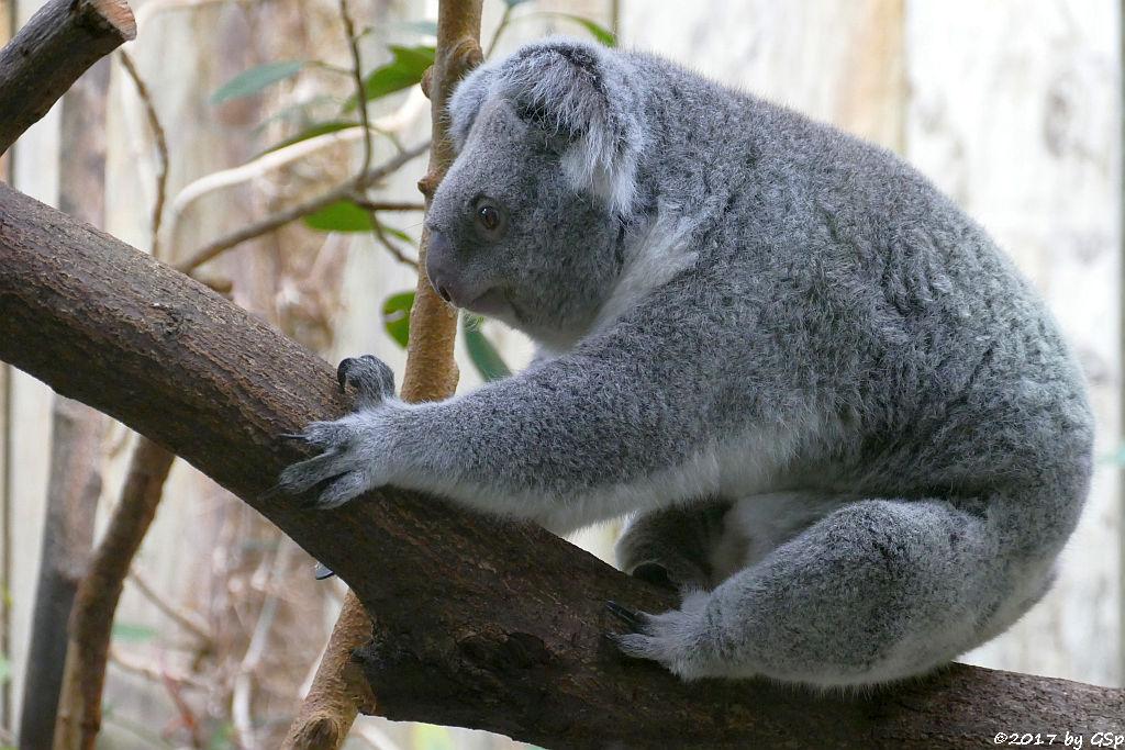 Queensland-Koala