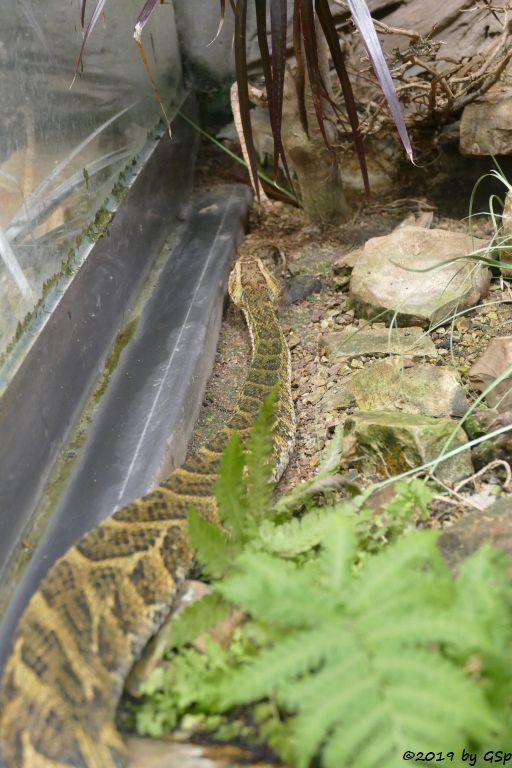 Gemeine Puffotter (Pufffotter)