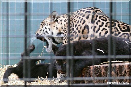 Jaguar mit Jungtieren (geb. am 17.09.09)