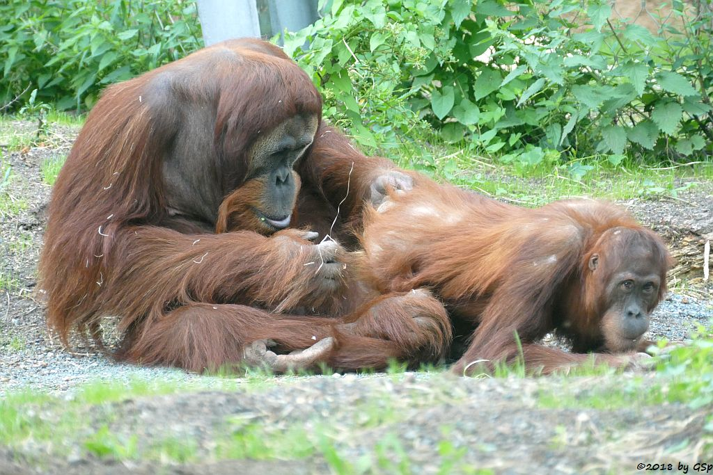 Sumatra-Orang-Utan KEMBALI und INDAH