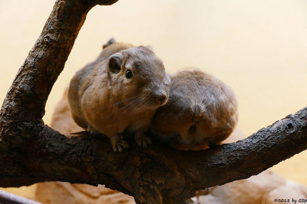 Gewöhnlicher Gundi (Atlas-Gundi)