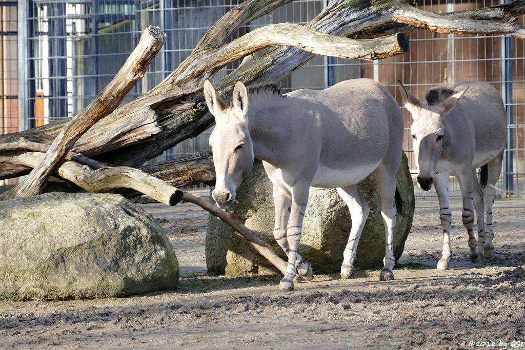 Somali-Wildesel