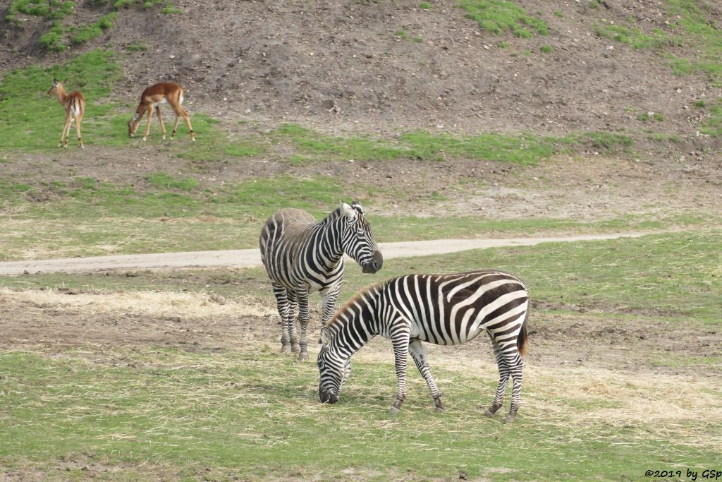 Gewöhnliche Impala Schwarzfersenantilope), Böhm-Steppenzebra (Grant-Zebra)