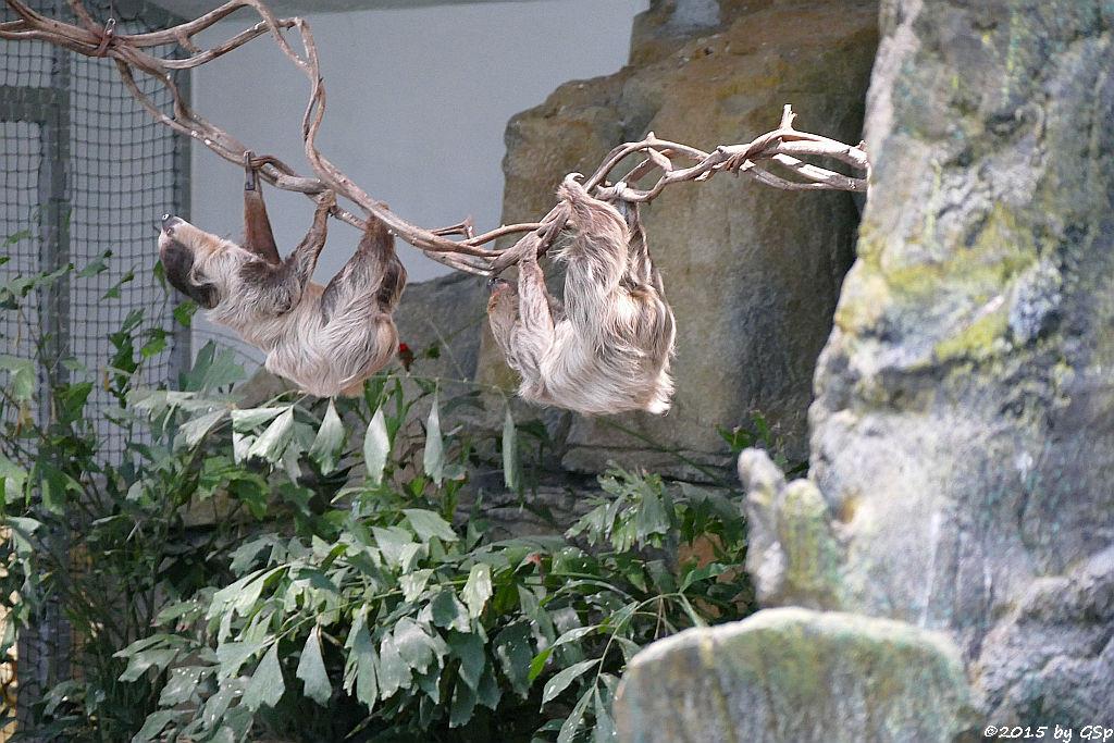 Zweifinger-Faultier (Unau)