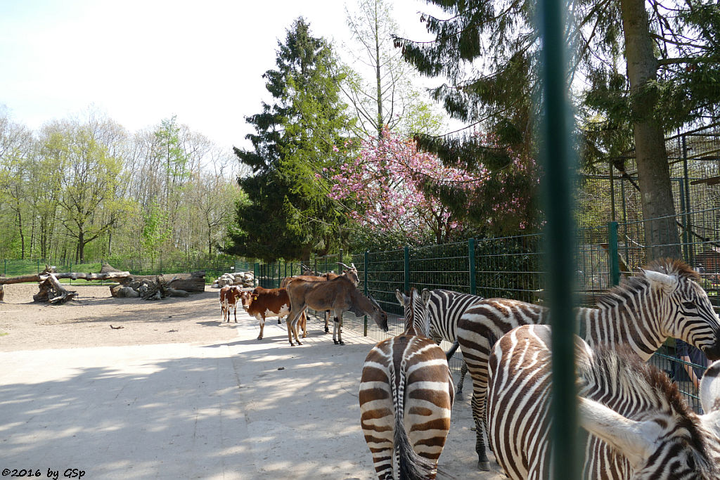 Afrika-Anlage: Böhm-Zebra, Elen-Antilope, Zwerg-Zebu