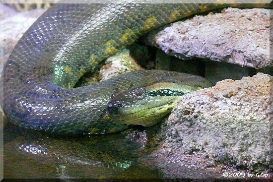 Große Anakonda