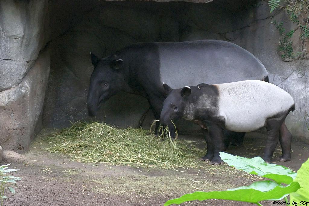 Schabrackentapir (Malaysischer Tapir) LAILA mit KEDIGA, geb. am 2.6.16