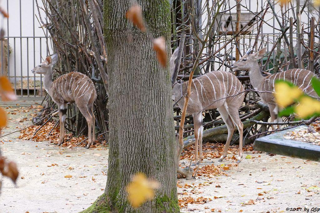 Kleiner Kudu