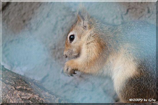 Kaukasisches Eichhörnchen