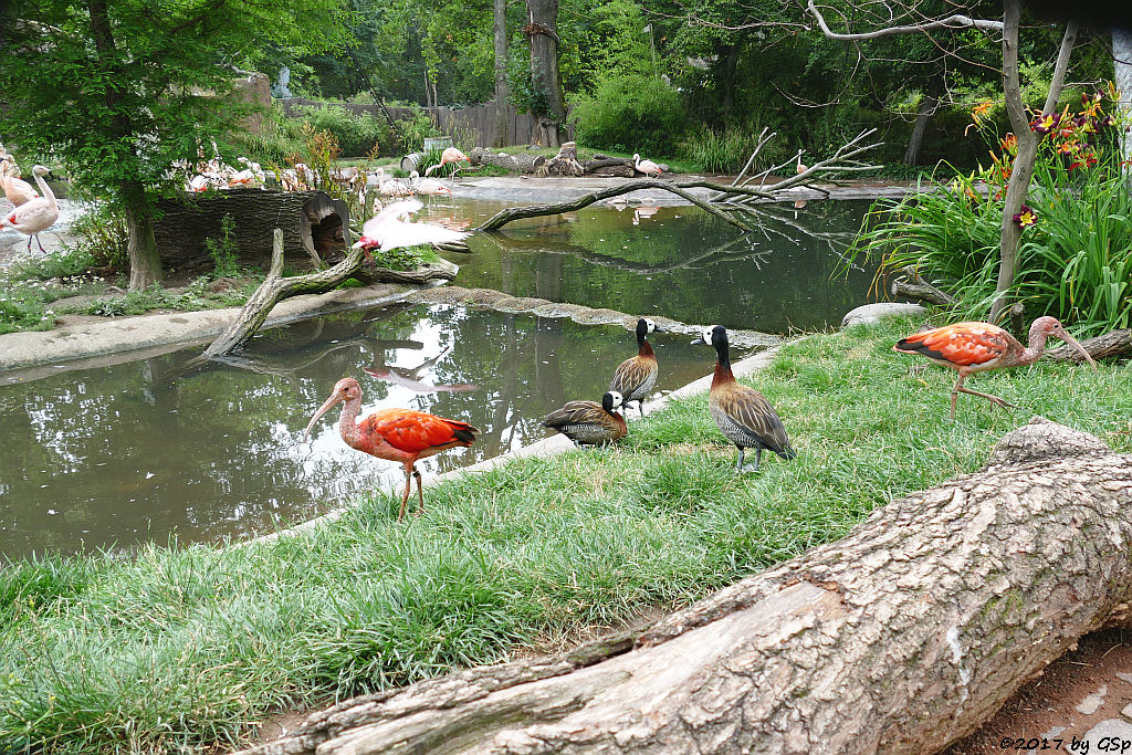 Roter Sichler Witwenpfeifgans (Witwenente, Witwenpfeifente), Rosalöffler, Chileflamningo (Chilenischer Flamingo)