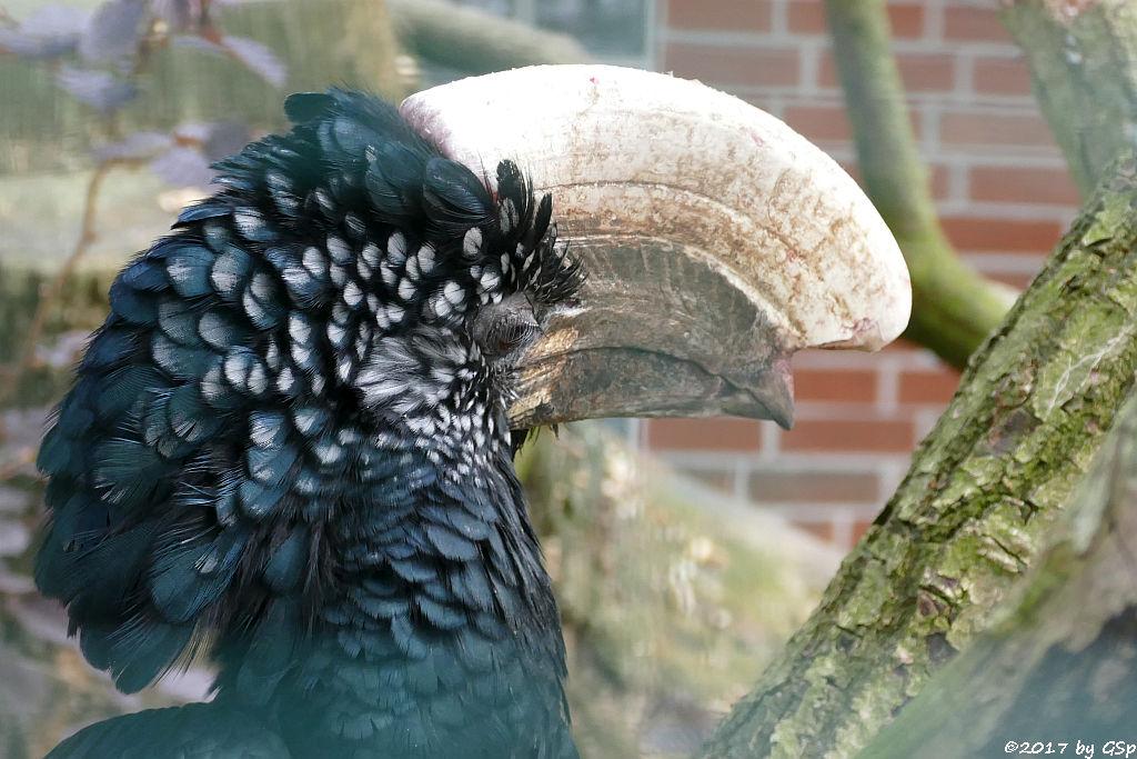 Silberwangen-Hornvogel