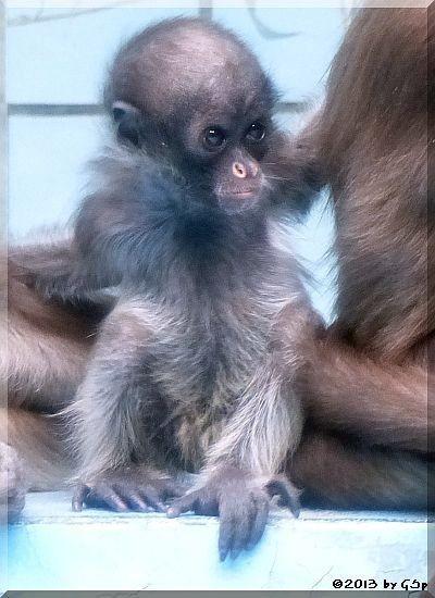 Goldstirnklammeraffe OCANA's Baby