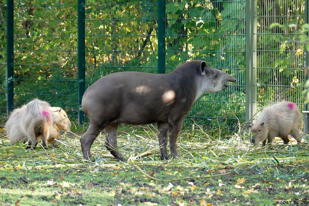 Wasserschwein (Capybara), Flachlandtapir (Südamerikanischer Tapir)