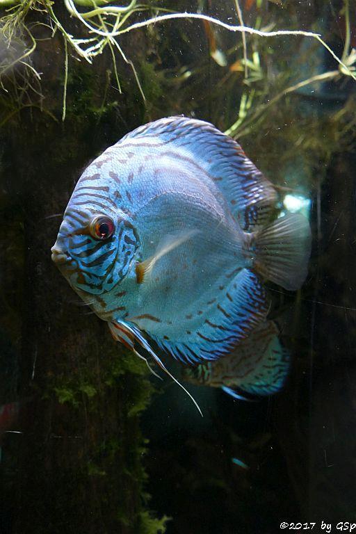Diskusbuntbarsch (Diskusfisch, Brauner Diskus)