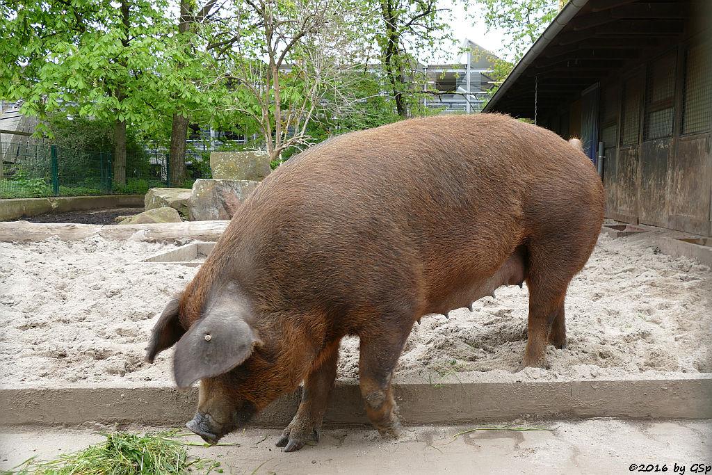 Duroc-Schwein