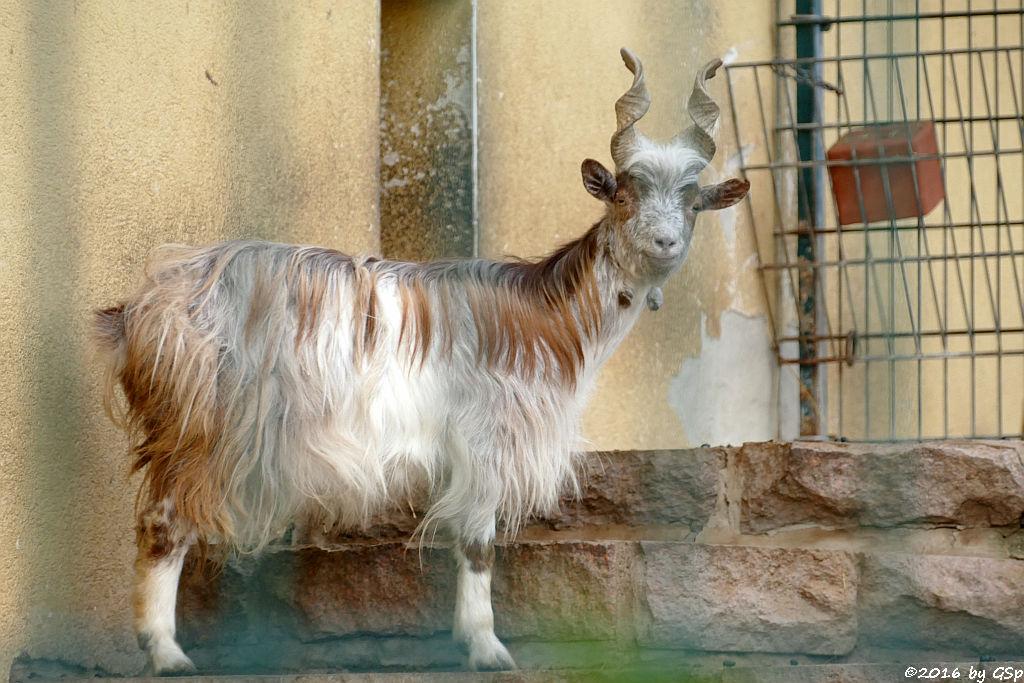 Girgentana-Ziege (Agrigento, Girgentanische Ziege)