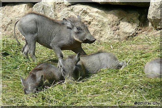 Warzenschwein-Jungtiiere, geb. am 9.4.10