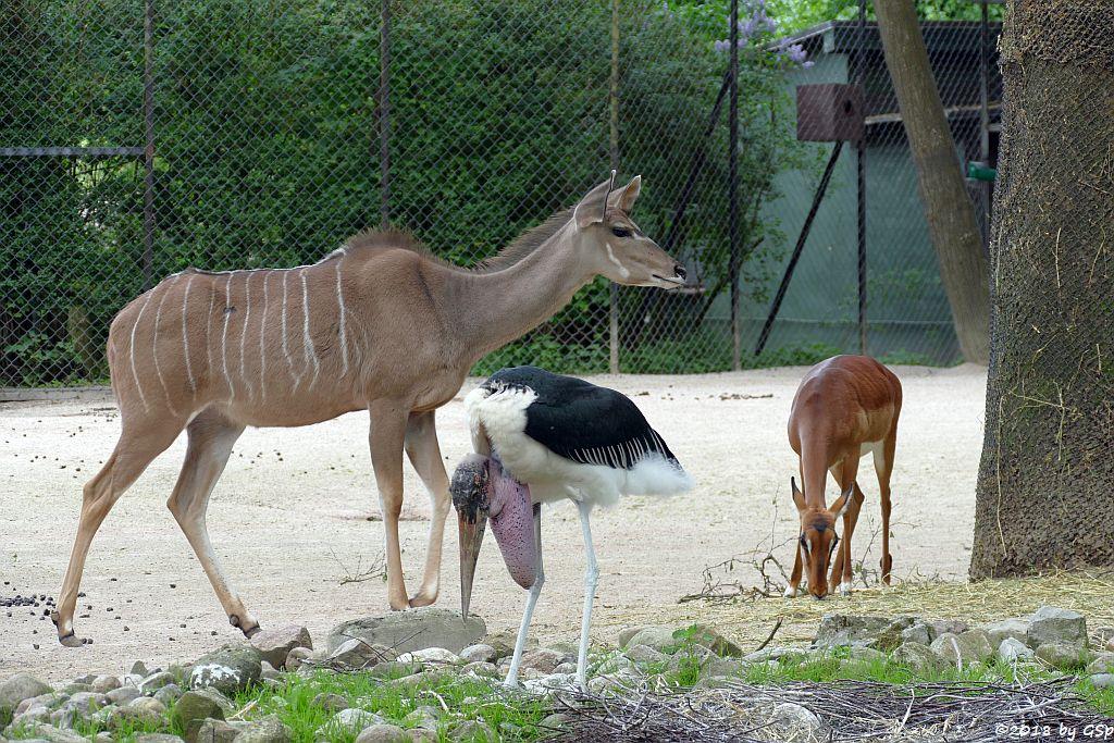 Großer Kudu, Gewöhnliche Impala (Schwarzfewrsenantilope), Afrikanischer Marabu
