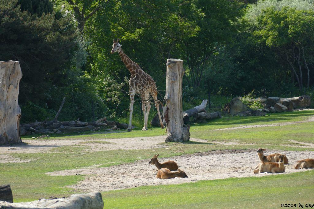 Weißnacken-Moorantilope (Mrs. Grays Wasserbock), Rothscvhildgiraffe (Uganda-Giraffe, Baringo-Giraffe)