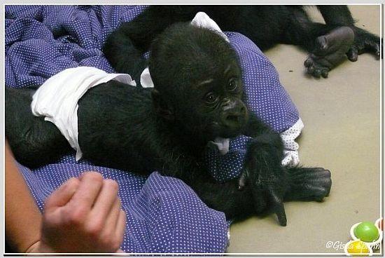 Gorillababy MONZA, geb. 2.9.07 in La Palmyre (Frankreich)