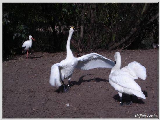 Weißstorch und Zwergschwan
