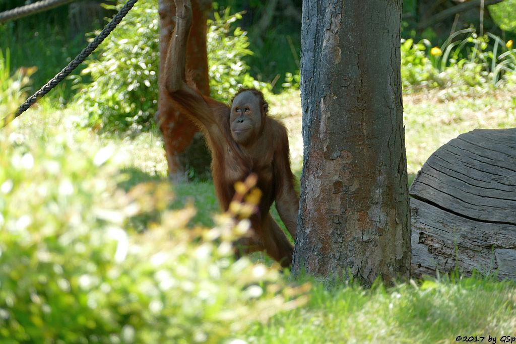 Sumatra-Orang-Utan BATAK, seit 08.08.17 im Tierpark Hagenbeck, Hamburg