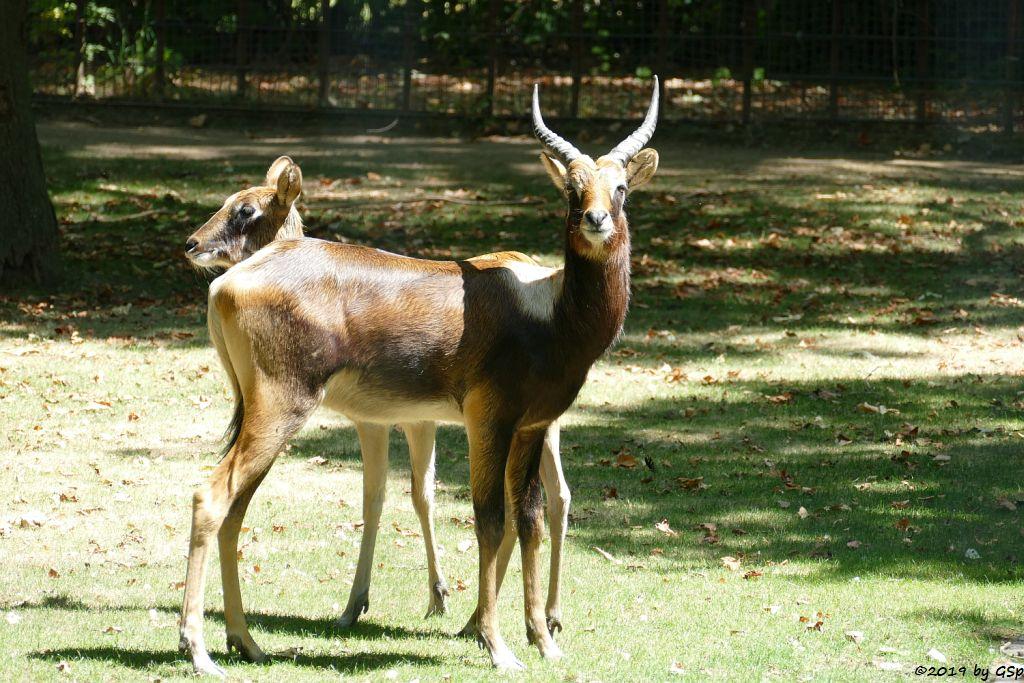 Weissnacken-Moorantilope (Mrs. Grays Wasserbock)