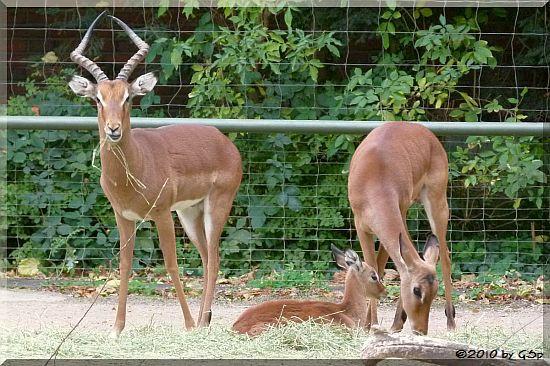 Impala, Jungtier geb. am 28.09.10