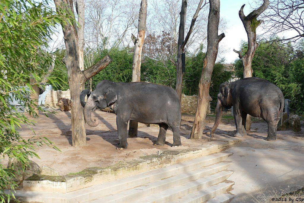 Asiatischer Elefant ZELLA und PAMA