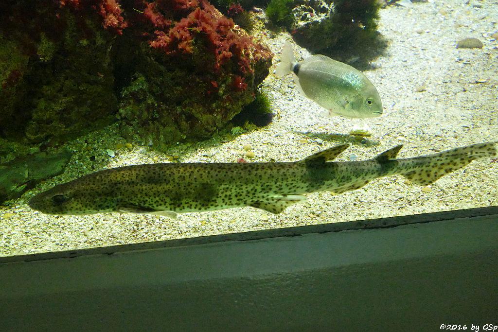 Kleingefleckter Katzenhai