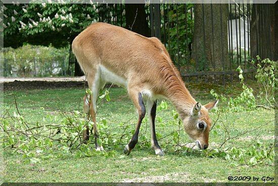Litschie-Moorantilope