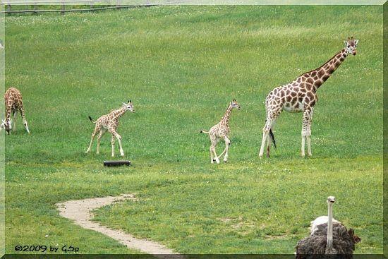 Rothschild-Giraffe, Blauhalsstrau