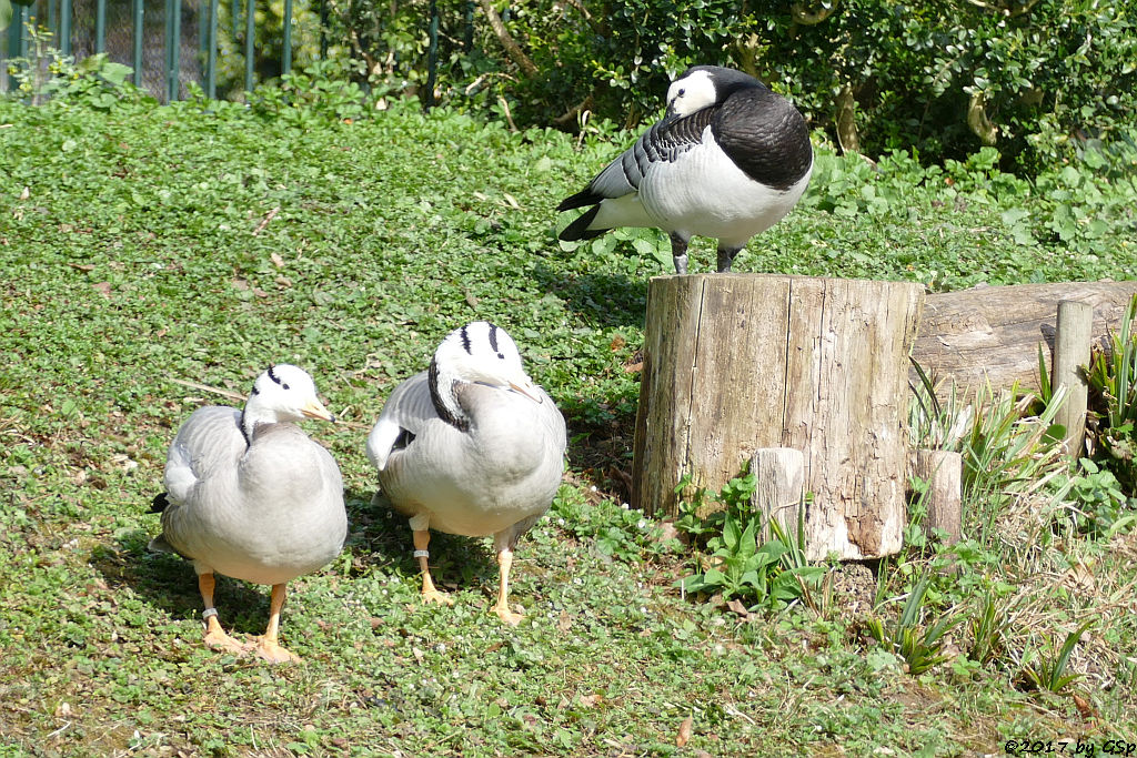Streifengans, Weißwangengans (Nonnengans)