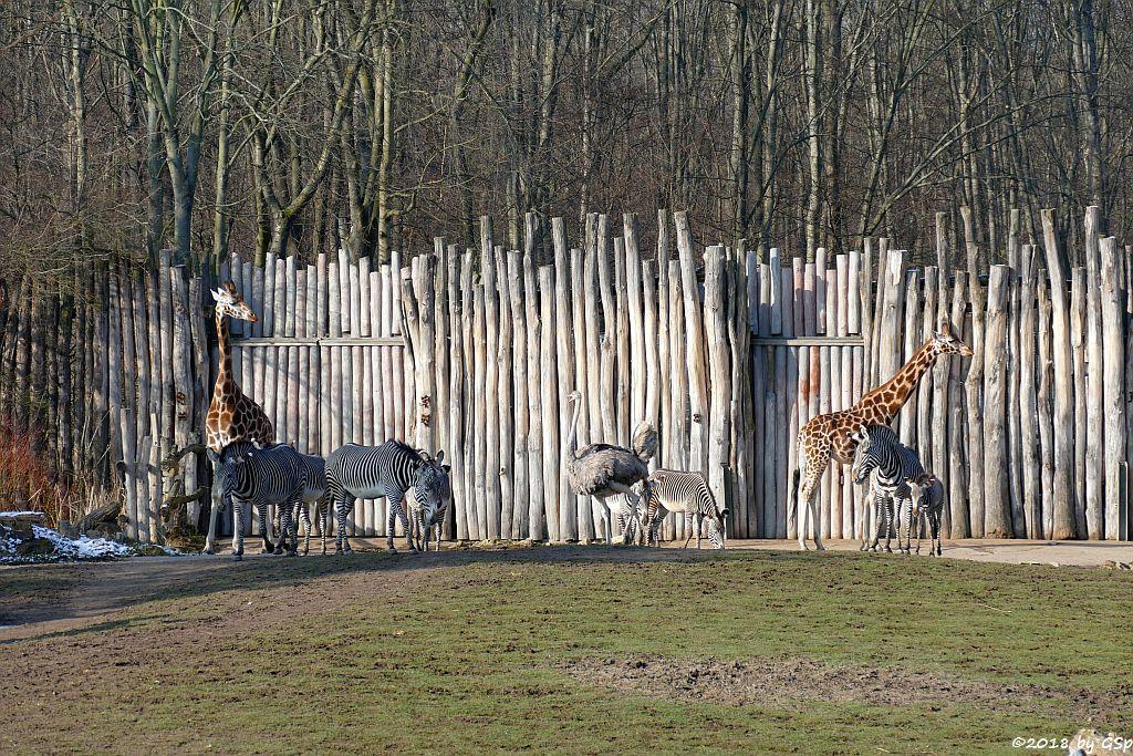 Grévy-Zebra, Rothschildgiraffe (Uganda-Giraffe, Baringo-Giraffe)