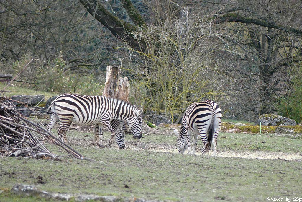 Impala (Schwarzfersenantilope), Böhm-Steppenzebra (Grant-Zebra)