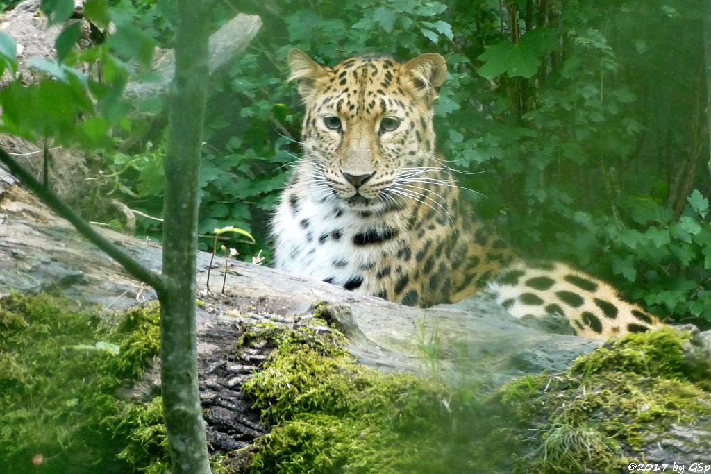 Amurleopardin MIA