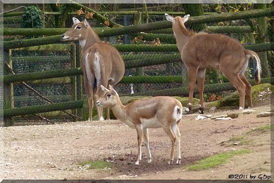 Nilgauantilope, Hirschziegenantilope