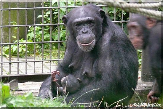Schimpansin VAKANGA mit PANJA (geb.am 14.7.08)
