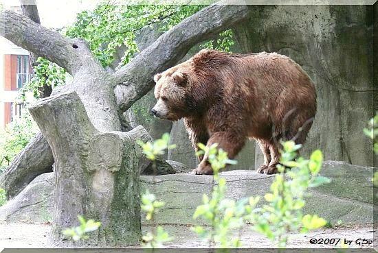 Kodiakbär BUFFY