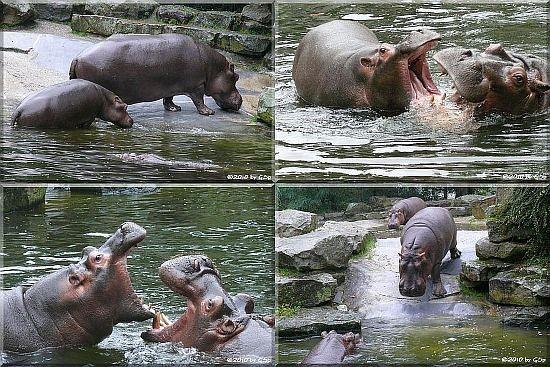 Flusspferde - 40 Fotos