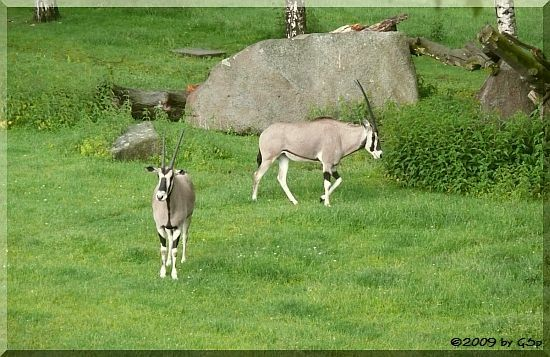 Beisa-Antilope (Ostafrikan. Oryx)