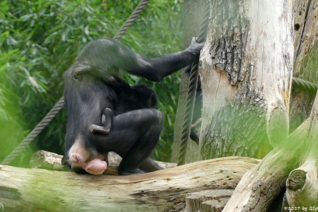 Bonobo LEXI mit Ziehkind AMIRA