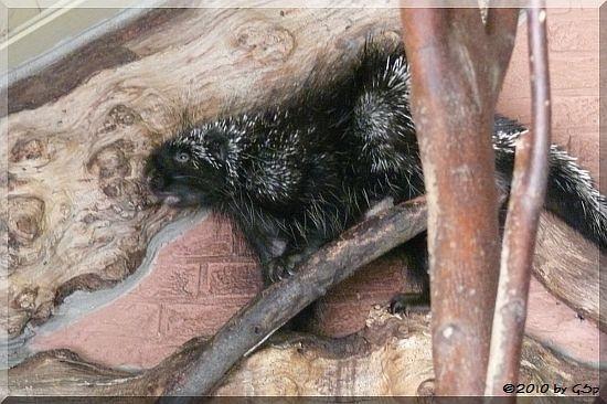 Urson (Kanadischer Baumstachler)