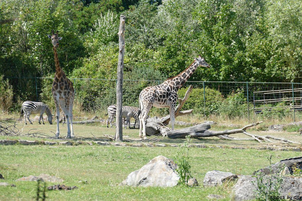 Böhm-Steppenzebra (Grantzebra), Rothschildgiraffe (Uganda-Giraffe, Baringo-Giraffe)