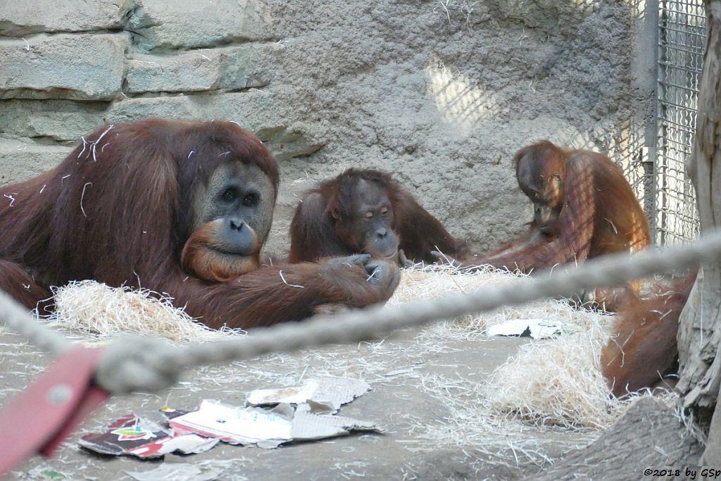 Sumatra-Orang-Utan KEMBALI, INDAH, SAYANG
