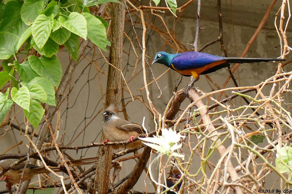 Gestreifter (Braunflügel-) Mausvogel, Königsglanzstar